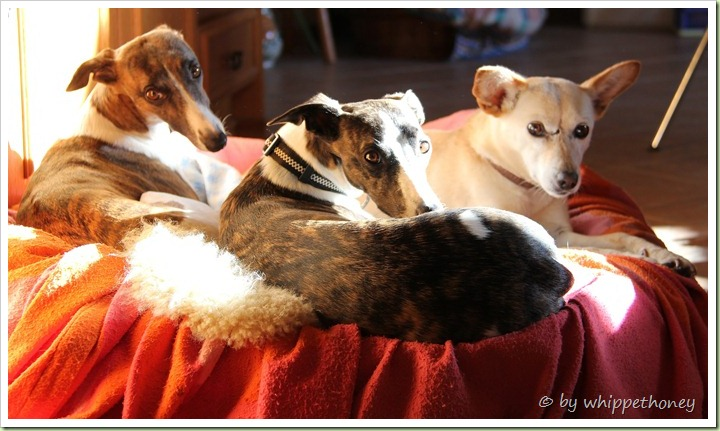 Rosy, Emmy & Sina, beim Sonnenbaden 26.10.2012 © by whippethoney