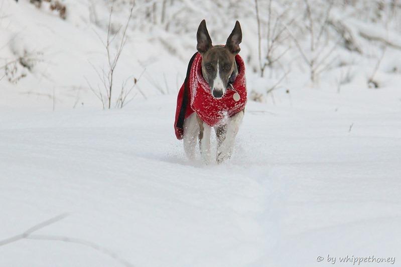 Emmy stampft durch den hohen Schnee, 12.12.12 © by whippethoney