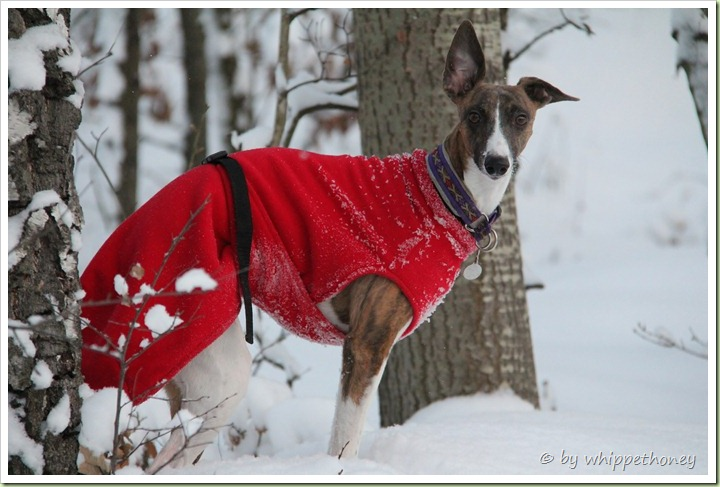Emmy beim Winterspaziergang, 12.12.12 © by whippethoney